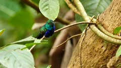 Tiny hummingbird takig a rest on ant-infested tree in the jungle