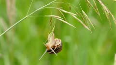 Snail closeup while it is hanging upside down from tall grass
