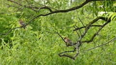 Pair of Cedar Waxwing perched on different branches in forest