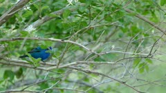 Bright blue colored Indigo Bunting moving while on branch