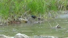 Grackle predatory bird attacks crayfish prey on river shore