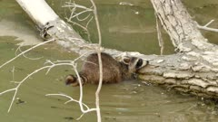 Dexterous Raccoon finding food under water against wood log