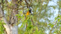 Baltimore Oriole swinging off of small fresh weak green branch