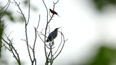 Baltimore Oriole landing on tree initially occupied by Green Heron