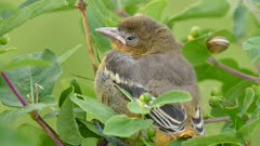 Closeup of baby bird Baltimore Oriole falling asleep slowly
