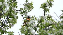 Multiple various shots of oriole birds in flowering tree in spring