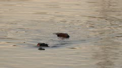 Beaver duo swimming in direction of viewer during sunset