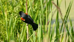 Classic shot of Red-Winged Blackbird on swamp's tall grass