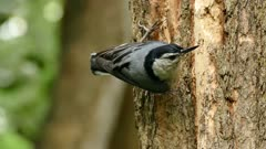 Extreme closeups of Nuthatch bird moving quickly on tree