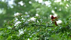 Bright red Cardinal bird jumping ahead on slightly wet branch