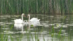 Mother, father and babies Mute Swan swimming in swamp with grass