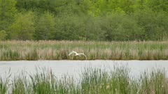 Large white swan flying and landing on water using feet to decelerate