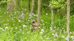 Cute and innocent raccoon standing in flowery field next to tree