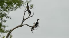 Group of cormorants taking off of dead tree at the same time