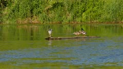 Heron shaking off feathers while standing on same log as ducks