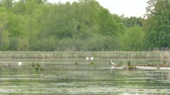 Two swans in the distance turning simultaneously to establish territory