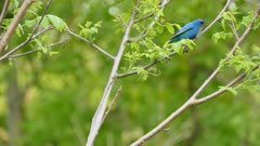 Double shot of Indigo Bunting bright blue bird hoping on branches