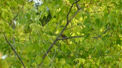 Multi shots of pair of Bullock's Oriole birds with pray in mouth