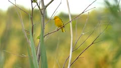 Sharp shot of Yellow Warbler vocalising on blury forest background
