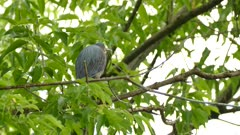 Back view of Green Heron extending its neck high up during grooming