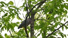 Beautiful Green Heron preening and grooming while perched in a tree
