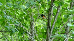 American Redstart bird perched on various branches and trees