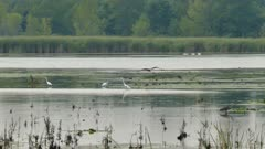 Great Blue Heron flying in and landing in large shallow lake full of wildlife