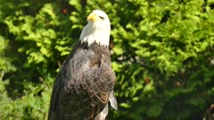 Side View of eagle while drying up it's opened wings under the sun