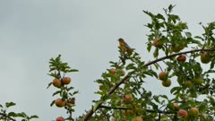 Baltimore Oriole perched in apple tree on stormy skies background