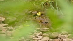 Bright yellow goldfinch bathing in quiet river stream with wet stones