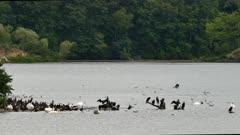 Abundant wildlife scene with aquatic birds swimming and grooming in Canada