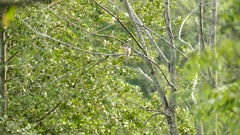 Multiple shots of Yellow-Billed Cuckoo in Canadian forests