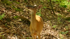 Deer facing camera under the sun turns around and stops with hurt leg