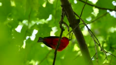 Underneath view of Scarlet Tanager while vocalising on a branch
