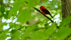Scarlet Tanager vocalising while perched with bright green surroundings