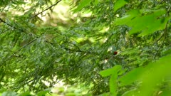 Scarlet Tanager holding green caterpillar as a prey while hiding in tree