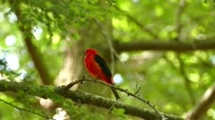 Crisp shot of red tanager bird calling loudly in pine and leaves forest