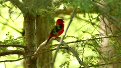 Tanager calling before taking off and away from branch in Canadian forest