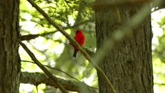 Extended shot of red bird in Canada perched on a branch on sunny day