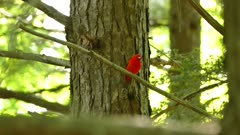 Scarlet tanager singing in forest with large tree trunk in the background