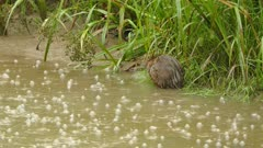 Damped muskrat goes into river from shore with rain creating bubbles