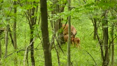 Mother deer interacting with two lovely fawns in lush Canadian forest