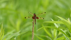 Dragonfly with black and red tail perched atop a small twig in light wind