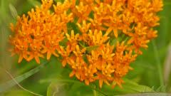 Macro shot of ants walking among bright orange flowers on green background