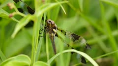 Detailed closeup of dragonfly in the wild perched on strain of grass