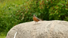 Robin bird standing on large stone with moving worms in its beak