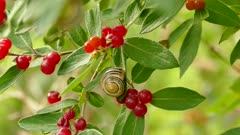 Snail perched near bright red fruits on green plant with slight wind