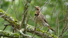 Multiple closeup shots of Northern Flicker flamboyant woodpecker bird