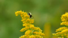 Carpenter bee foraging atop a bright yellow twig on green blurry background