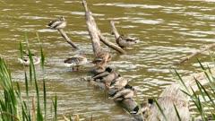 Multiple ducks move, rest, groom, preen, swim and sleep near a log